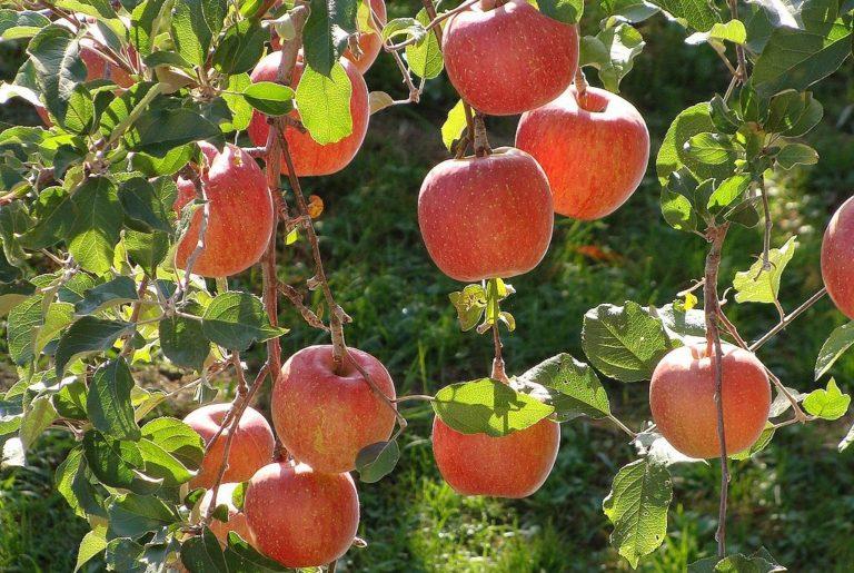 Speedfol™ Colour SP tiene impacto positivo en manzanas Fuji