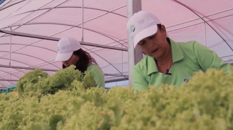 Agricultores de Pozo Almonte celebran primera cosecha de lechugas