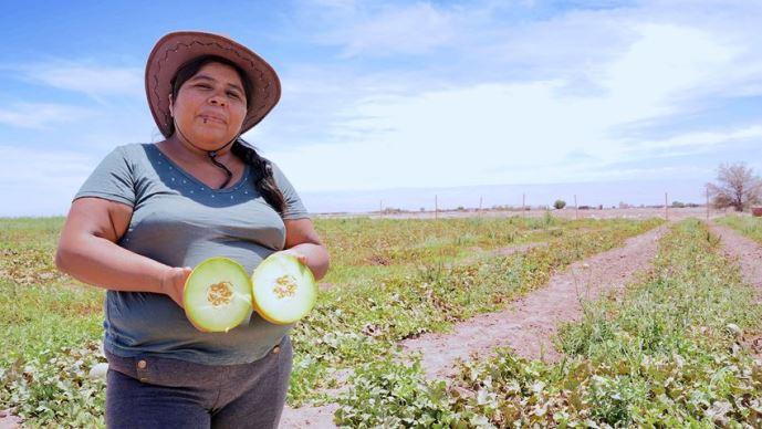 Agricultores de la Colonia Agrícola de Pintados celebran su primera cosecha de melones y sandías