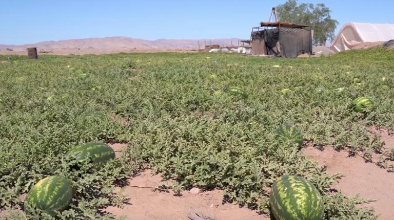 ¡Sandías y melones del desierto!