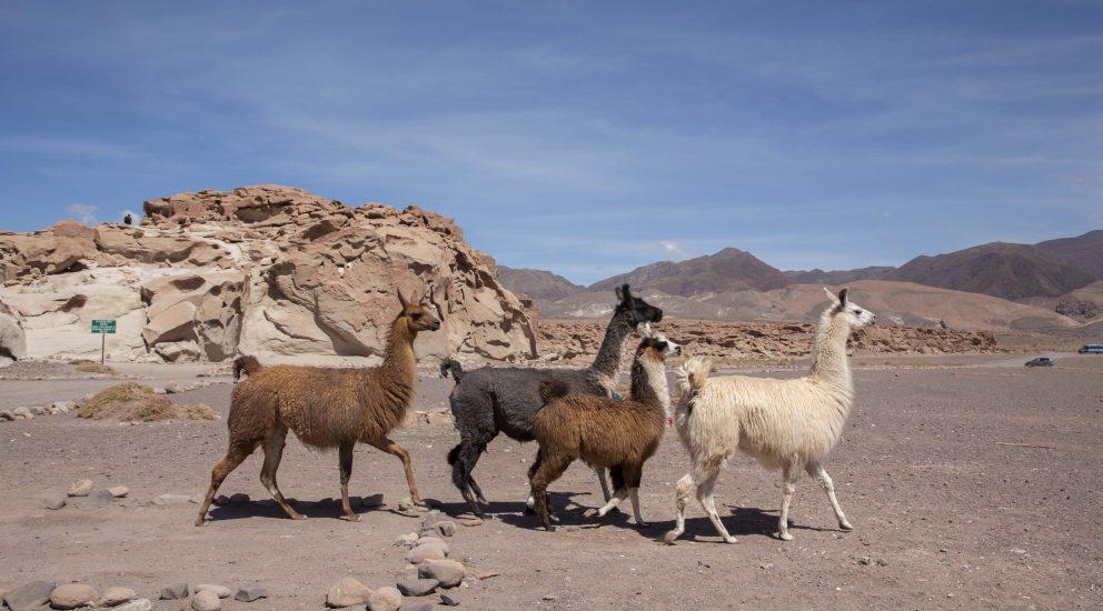 Mujeres de Quillagua aprenderán a producir lana natural para rescatar sus raíces a través del arte textil